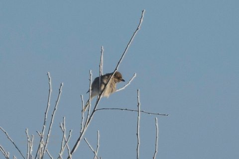 steider-studios-northern-shrike-12-31-16
