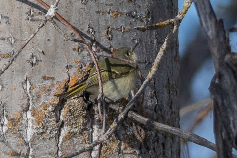steider-studios-ruby-crowned-kinglet-12-31-16