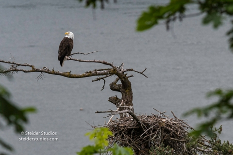 Bald eagle | Steider Studios Blog